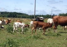 cowboy catchit heifers