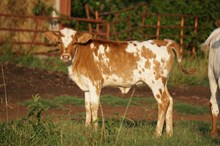 UNREGISTERED CALF