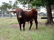 TEXAS BISQUIT BCR 691